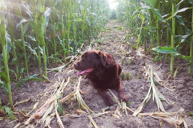 Vilkaviškio kukurūzų labirintas